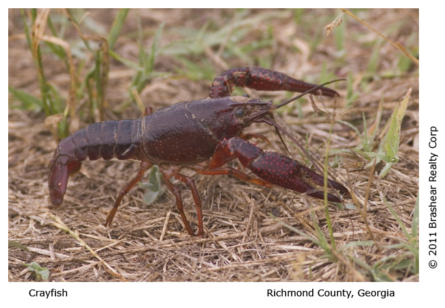 Crawfish, Crayfish, Crawdad, or Mud Bug
