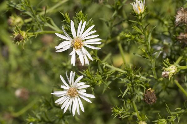 Eastern daisy Fleabane ( Erigeron annuus )