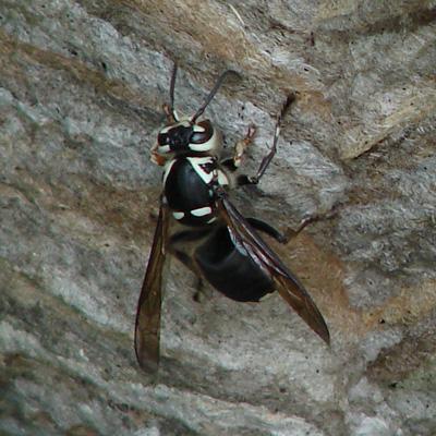 Closeup of a Hornet