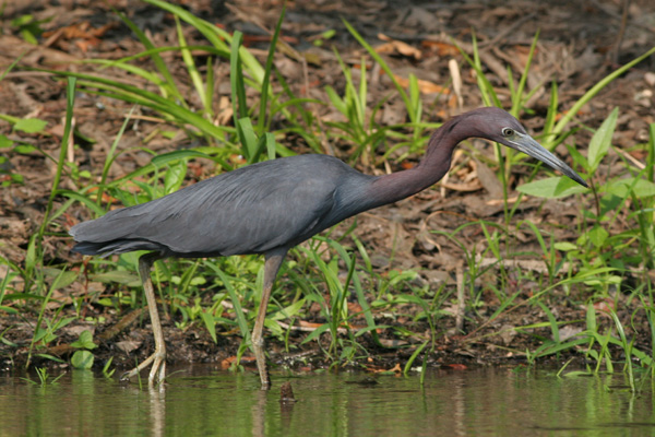 Little Blue Heron Stalking, Brier Creek, Burke County Georgia