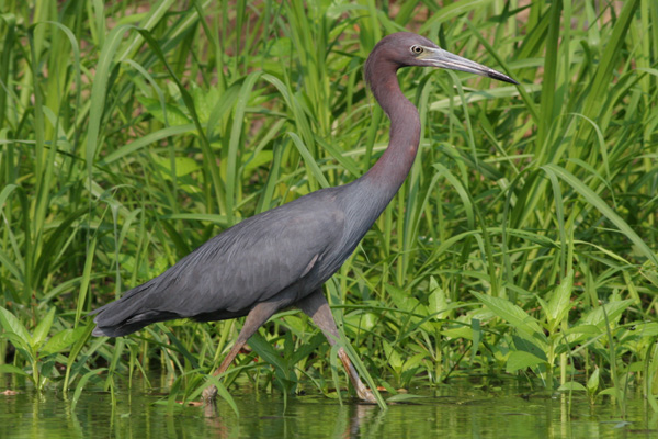 Little Blue Heron wading, Brier Creek, Burke County Georgia