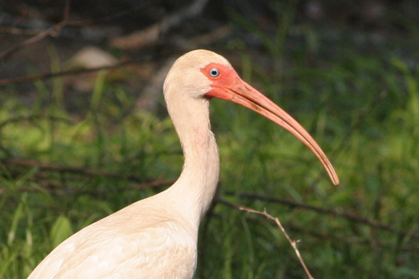 White Ibis Close up, Brier Creek, Burke County GA