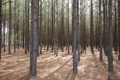 Georgia Timber Values Georgia Land Sales Blog: pine tree timber
