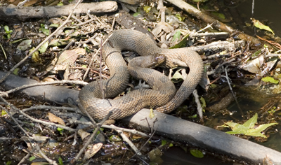 Brown Water Snake, Glascock County, Georgia